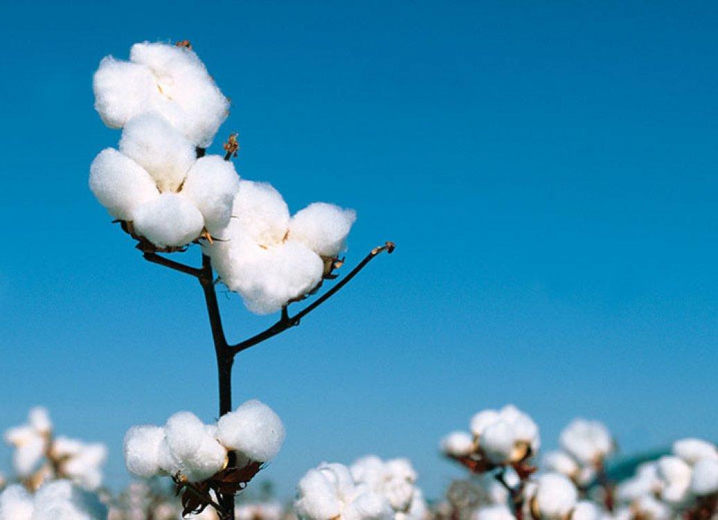 はじまりは「一輪の綿花」